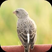 Suara Burung Sanger icon