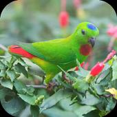 Suara Burung Serindit icon