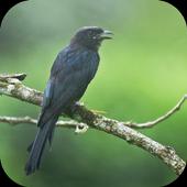 Suara Burung Srigunting icon