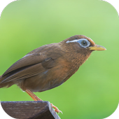 Suara Burung Wambi icon