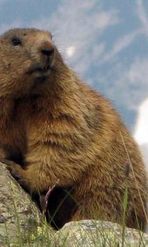 Marmot wallpapers apk screenshot