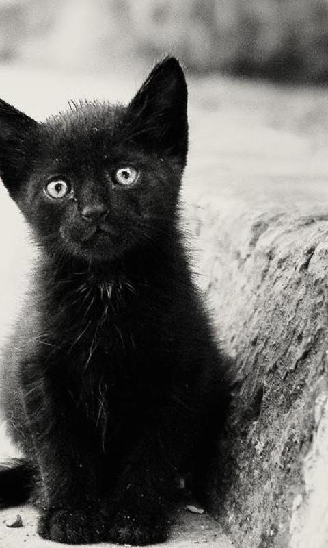 Black Kitten Wallpapers For Android Apk Download