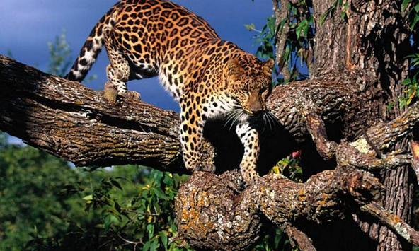 Cheetah Wallpapers apk screenshot