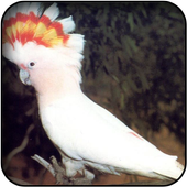 Cockatoo wallpapers icon