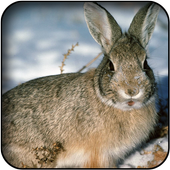 Hare wallpapers icon