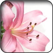 Lilies wallpapers icon