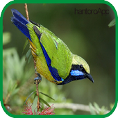 Kicau Cucak Cungkok ||Leafbird icon