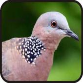Suara Burung Tekukur||Dekukur icon