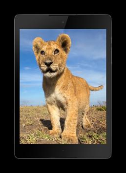 Lions Video Wallpaper apk screenshot