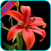 HD Lily Flower wallpaper icon