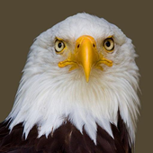 Eagle wallpapers icon
