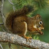 Squirrel Wallpapers icon