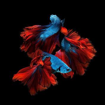 Betta Fish HD Wallpapers poster