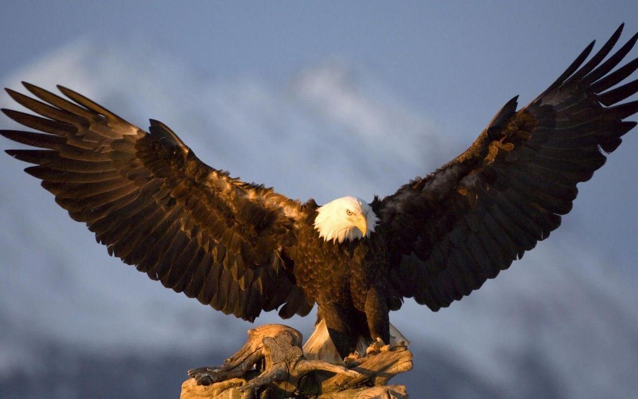 Eagle HD Wallpaper APK Download - Free Personalization APP for ...