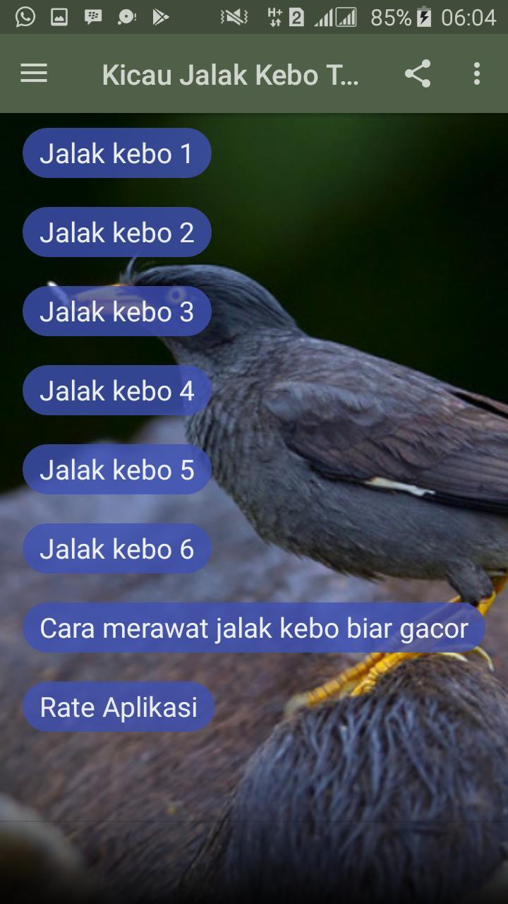 Kicau Jalak Kebo Terbaru Pour Android Telechargez L Apk