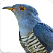 Himalayan Cuckoo Sounds : Himalayan Cuckoo Song icon