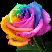 Rose Fr icon