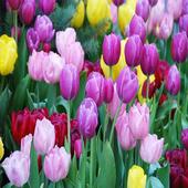 Tuylipflower Swe icon