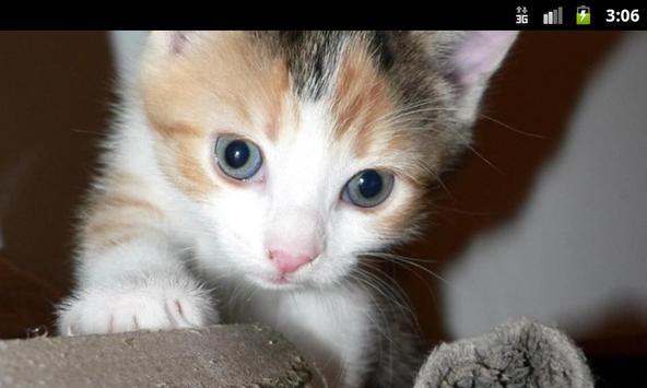Cats and Kittens - Wallpapers apk screenshot