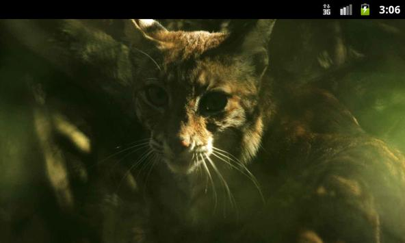 Lynxes & Bobcats - Wallpapers poster