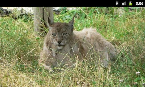 Lynxes & Bobcats - Wallpapers apk screenshot