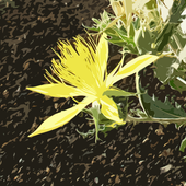 Flowers of Craters of the Moon icon
