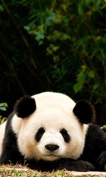 Panda Wallpaper Poster Apk Screenshot