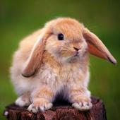 Rabbits wallpaper icon