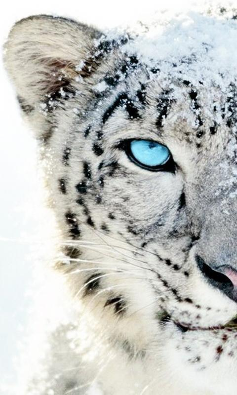 White tiger wallpaper for android apk download - White tiger wallpaper free download ...
