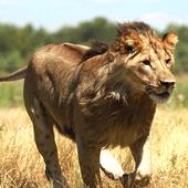 Wild Lion Attack 3D icon