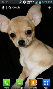 Chihuahua Live Wallpaper Lite poster