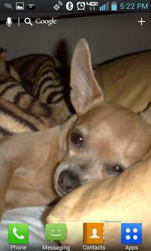 Chihuahua Live Wallpaper Lite apk screenshot