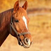Horses Animals Puzzles Jigsaw icon