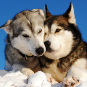 Siberian Husky Dogs New Jigsaw Puzzles icon