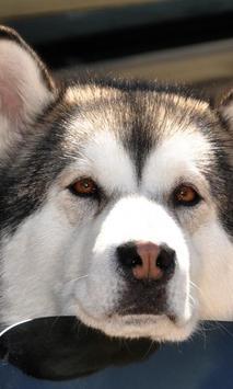 Siberian Husky Dogs New Jigsaw Puzzles screenshot 1