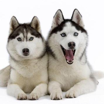 Siberian Husky Dogs New Jigsaw Puzzles screenshot 3