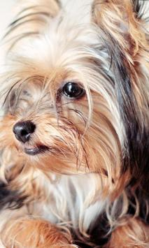 Yorkshire Terrier Dogs Images Jigsaw Puzzles screenshot 1