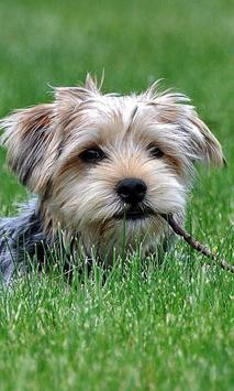 Yorkshire Terrier Dogs Images Jigsaw Puzzles screenshot 2