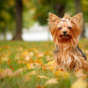 Yorkshire Terrier Dogs Images Jigsaw Puzzles screenshot 3