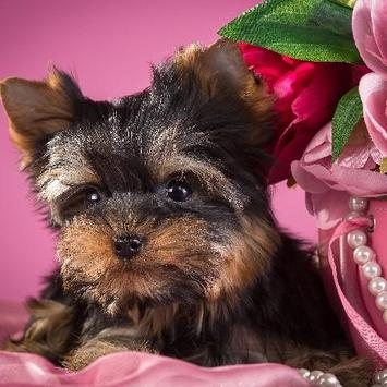 Yorkshire Terrier Dogs Images Jigsaw Puzzles screenshot 4