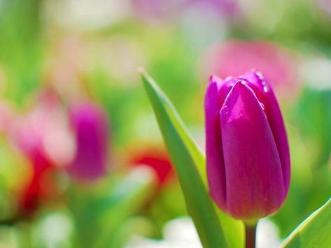 Tulips Wallpaper apk screenshot