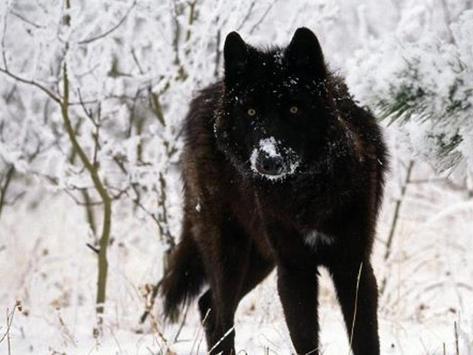 Wolf Wallpaper HD poster