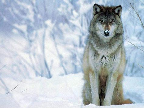 Wolf Wallpaper HD apk screenshot