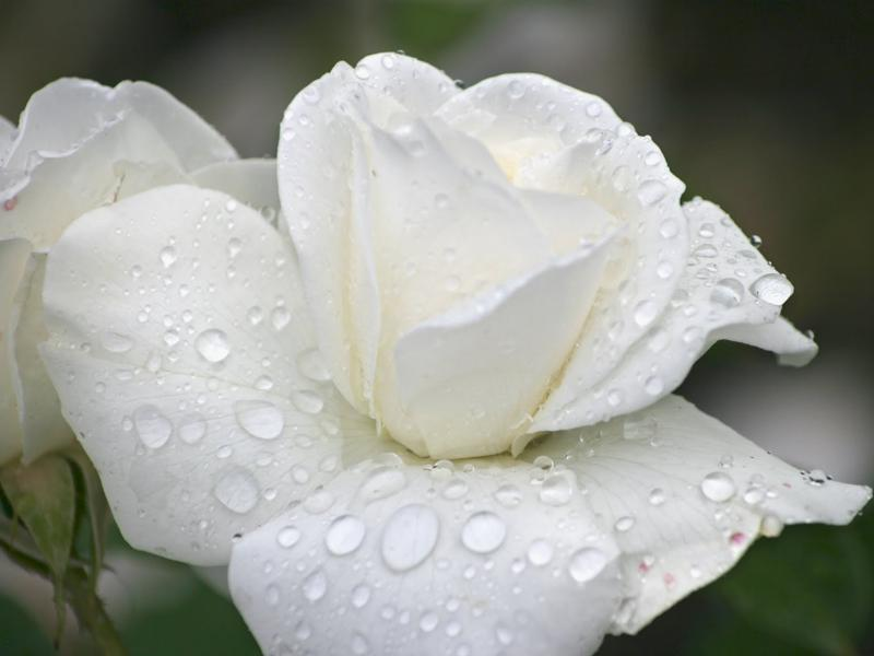 White Rose Wallpaper Hd For Android Apk Download