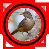 Sabia Laranjeira Aves do Brasil icon