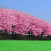 Cherry blossoms icon