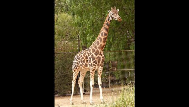 Giraffes Photos and Videos screenshot 11