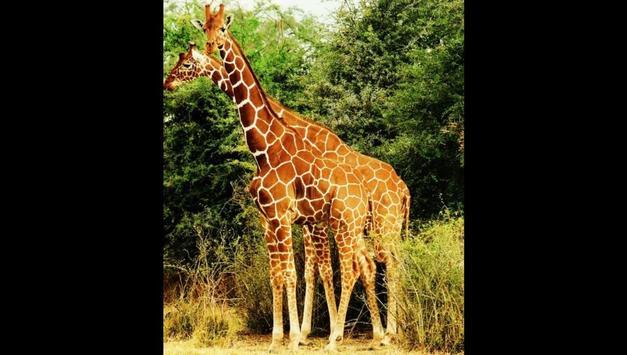 Giraffes Photos and Videos screenshot 14