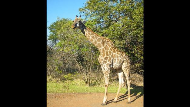Giraffes Photos and Videos screenshot 7