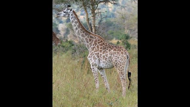 Giraffes Photos and Videos screenshot 4